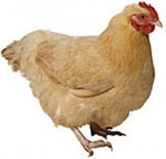 pollo.jpg